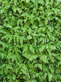 Green leaf wall background Royalty Free Stock Photography