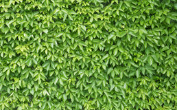 Green leaf wall background Royalty Free Stock Image