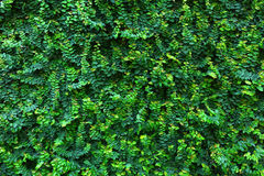 Green leaf Wall ,Backgrounds Stock Photo