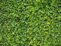 Green Leaf Wall at Siriraj Hospital stock photos