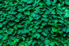 Green leaf wall stock photography