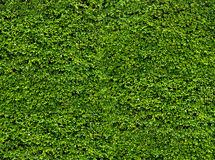 Green leaf wall. Natural fresh leaves background and texture Royalty Free Stock Images
