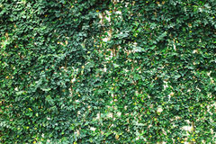 Green leaf wall. In the park Royalty Free Stock Photo