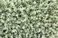 Green leaf wall  texture Royalty Free Stock Photo