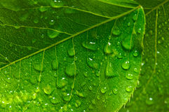 Green leaf with waredrops Royalty Free Stock Photography