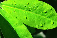 Green Leaf with Water. A green leaf with moisture drops Royalty Free Stock Photo