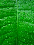 Green leaf with water beads Royalty Free Stock Photo