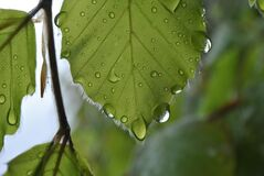 Green Leaf With Water Dew Royalty Free Stock Photo