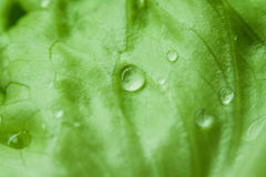 Green Leaf With Water Dew Focus Photography Stock Photo