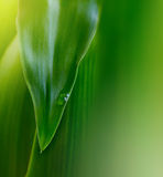 Green leaf with water drop Royalty Free Stock Photo