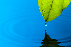 Green Leaf and Water Drop. With Reflection Stock Photography