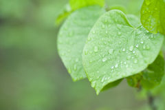 Green leaf with water drop Royalty Free Stock Images