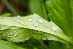 Green leaf with water drop for background texture.  royalty free stock photo