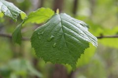 Green leaf with water drop closeup stock photography