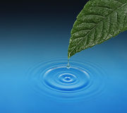 Green leaf with water drop falling. Royalty Free Stock Photo