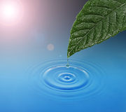 Green leaf with water drop falling Royalty Free Stock Images