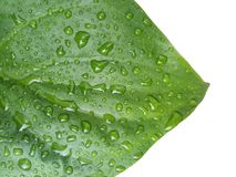 Green leaf with water drop isolated on white background.  royalty free stock images