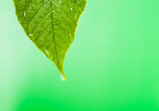 Green leaf with water droplet Royalty Free Stock Images