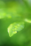 Green Leaf with waterdrop Royalty Free Stock Photo