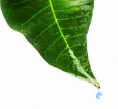 Green leaf. With water droplets Stock Images