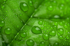 Green leaf with water droplets. Fresh green leaf with water droplets Royalty Free Stock Photo