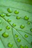 Green leaf with water droplets Stock Images