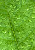 Green leaf with water droplets. Fresh, young, healthy, firm green leaf covered with drops of water, dew or rain Stock Photos
