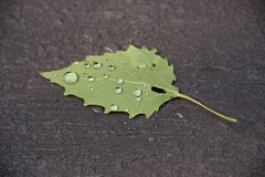 Green leaf with water droplets on a textured deck. Back of aspen leaf that is laying on a textured deck.  There are droplets of water on the spine and veins of Stock Image