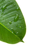 Green leaf with water droplets, on white Royalty Free Stock Images