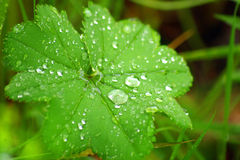 Green leaf with water drops. Macro of a green leaf with water drops. Focus is on two big drops Royalty Free Stock Photo