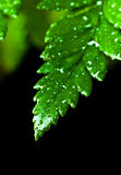 Green leaf with water drops. Isolated on black Royalty Free Stock Image
