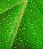 Green leaf with water drops Royalty Free Stock Photos