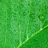 Green leaf and water drops Royalty Free Stock Photos