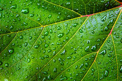 Green leaf with water drops. And reflections Royalty Free Stock Photo