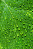 Green leaf with water drops. Closeup of a green leaf with water drops Royalty Free Stock Image