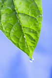 Green leaf with water drops. The sky is blue Stock Image
