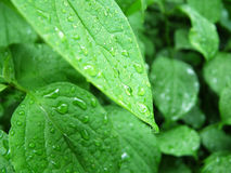 Green leaf. With water drops Stock Image