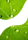 Green leaf with water drops. On it Royalty Free Stock Photography