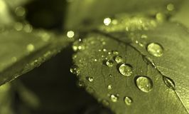 Green leaf with water drops. Monochrome green leaf with water drops Royalty Free Stock Image