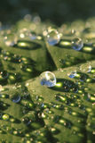 Green leaf and water drops Royalty Free Stock Photo