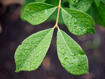 Green leaf with water drops Stock Image