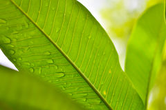 Green leaf with water drops for background Royalty Free Stock Image