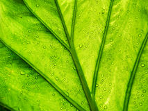 Green Leaf with Water Drops Backlit with Sun, Abstract Backgroun Stock Photo