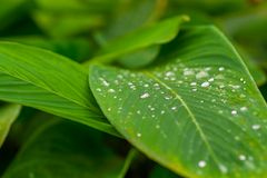 Green leaf with water drops close up.  Royalty Free Stock Photo