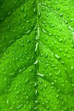 Green leaf with water drops on it. Close up shot of a green leaf with water drops on it Royalty Free Stock Images