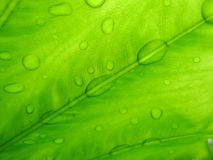 Green leaf with water drops. Closeup of a green leaf with water drops Royalty Free Stock Photo