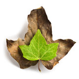 Green leaf with water drops on a dryed leaf. Symbolizing vitality Royalty Free Stock Image