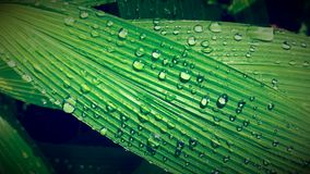 Green leaf with water drops. Fresh green leaf in nature with dew drops after the rain Stock Photo