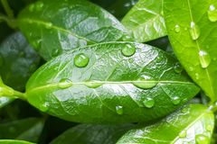 Green leaf with water drops. For background stock photos