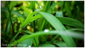 Green leaf on water drops. In jaleswar Stock Photography